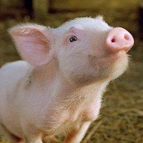 Kiss a pig for diabetes!